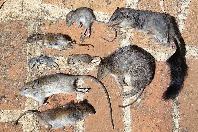 bush rat reference corpses
