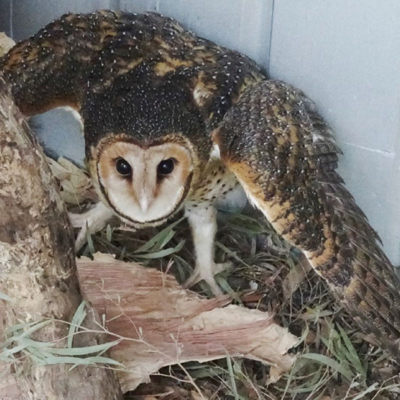 debilitated masked owl