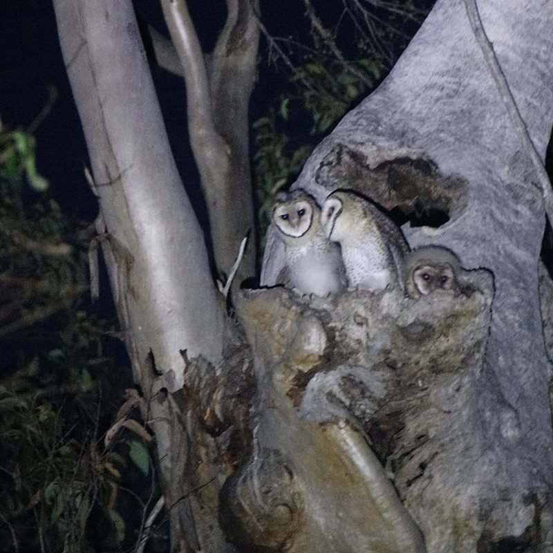 four masked owl chicks