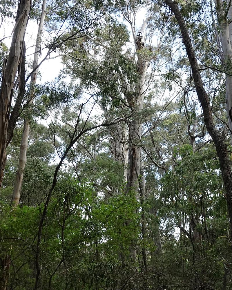 karri nest tree