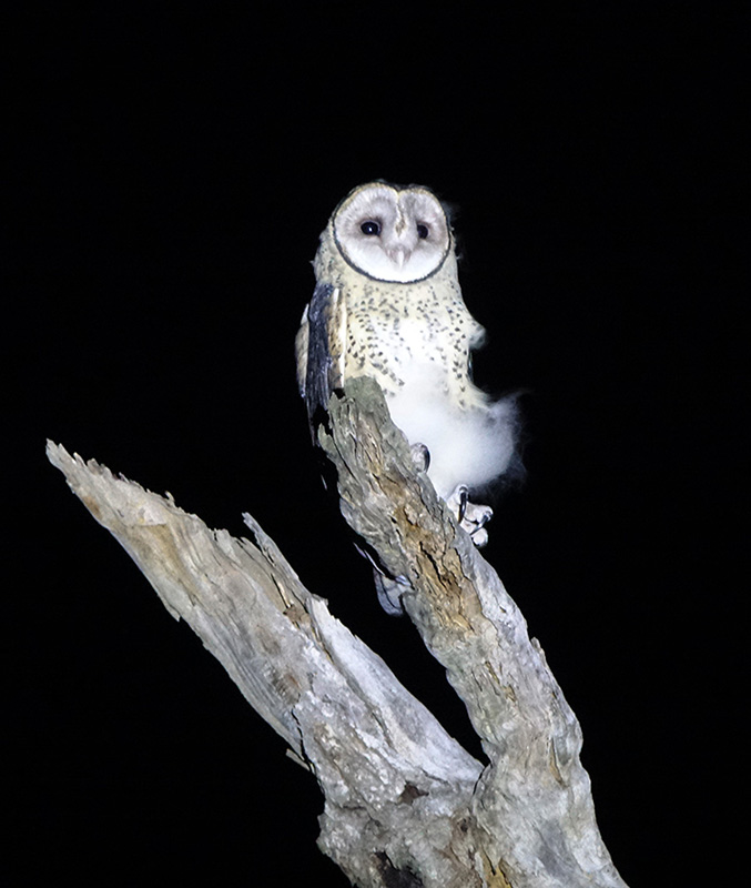 masked owl chick