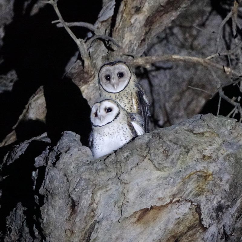 masked owl chicks