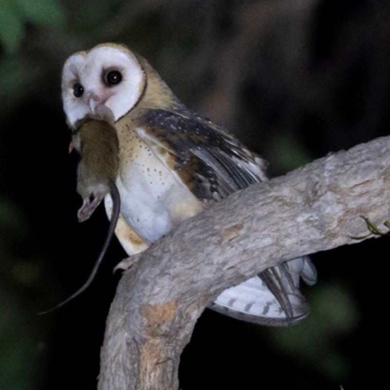 masked owl with prey